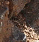 Lizard hiding in rocks