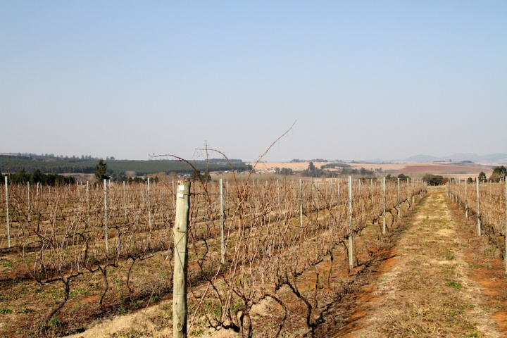 Vineyard at Pigley Wigley